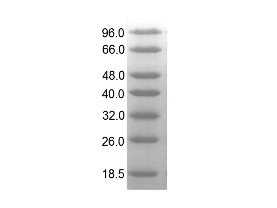Low Molecular Weight Lmw Protein Marker Atlas